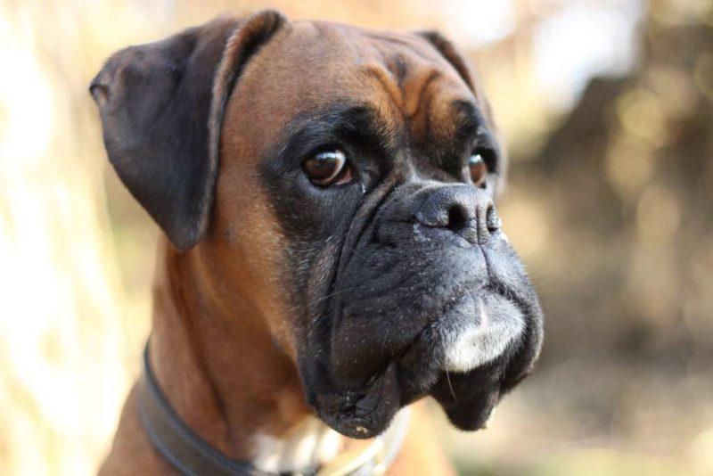 boxer loom boxer chien